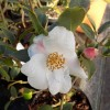 Camellia cus. Cornish Snow