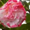 Camellia jap. Margaret Davis