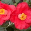 Camellia jap. Sylva