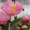 Camellia sas. Plantation Pink