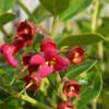 Escallonia rub. var. Macrantha