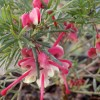Grevillea rosmarinifolia Jenkinsii