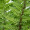 Polystichum Tsus-Simense
