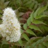 Sorbaria sorbifolia Sem **