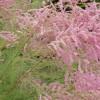 Tamarix Pink Cascade