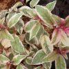 Fuchsia Sunray