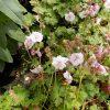 Geranium cantab Biokovo