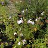 Salvia Trebah Lilac White