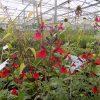 Salvia Wine & Roses